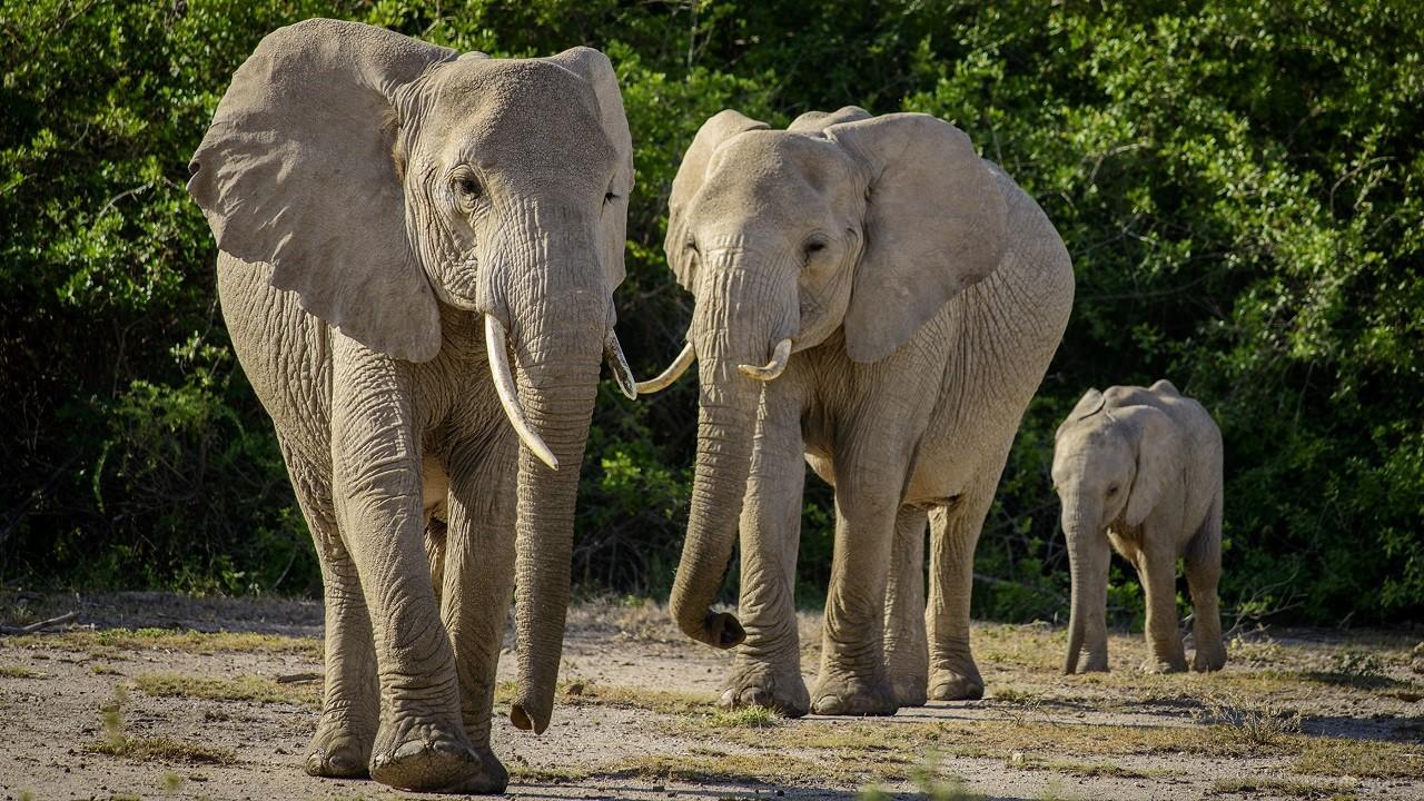 Слоны идут друг за другом
