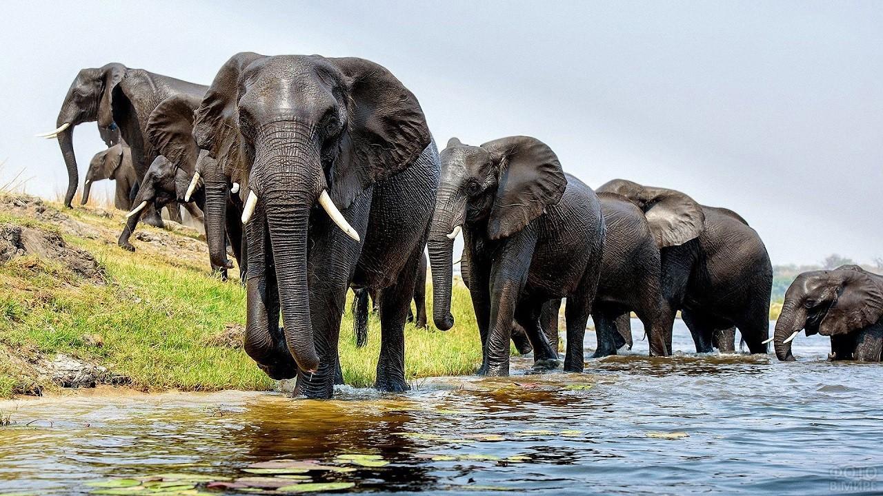 Стадо слонов передвигается через реку