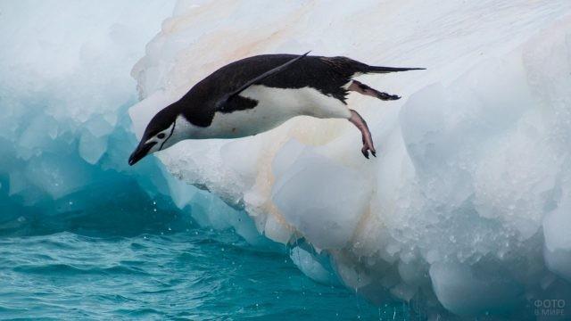 Антарктический пингвин ныряет в воду