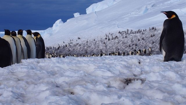 Большая стая пингвинов стоит на снегу