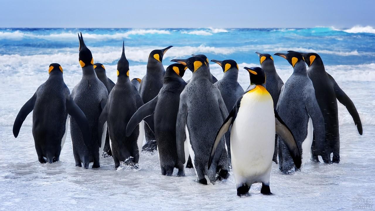 Цветные пингвины, идущие к воде
