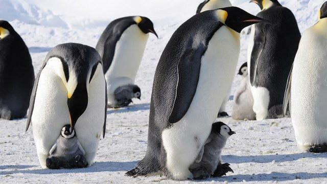 Детёныши пингвинов сидят на ногах у своих родителей