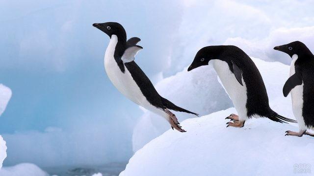 Грациозный прыжок пингвина Адели