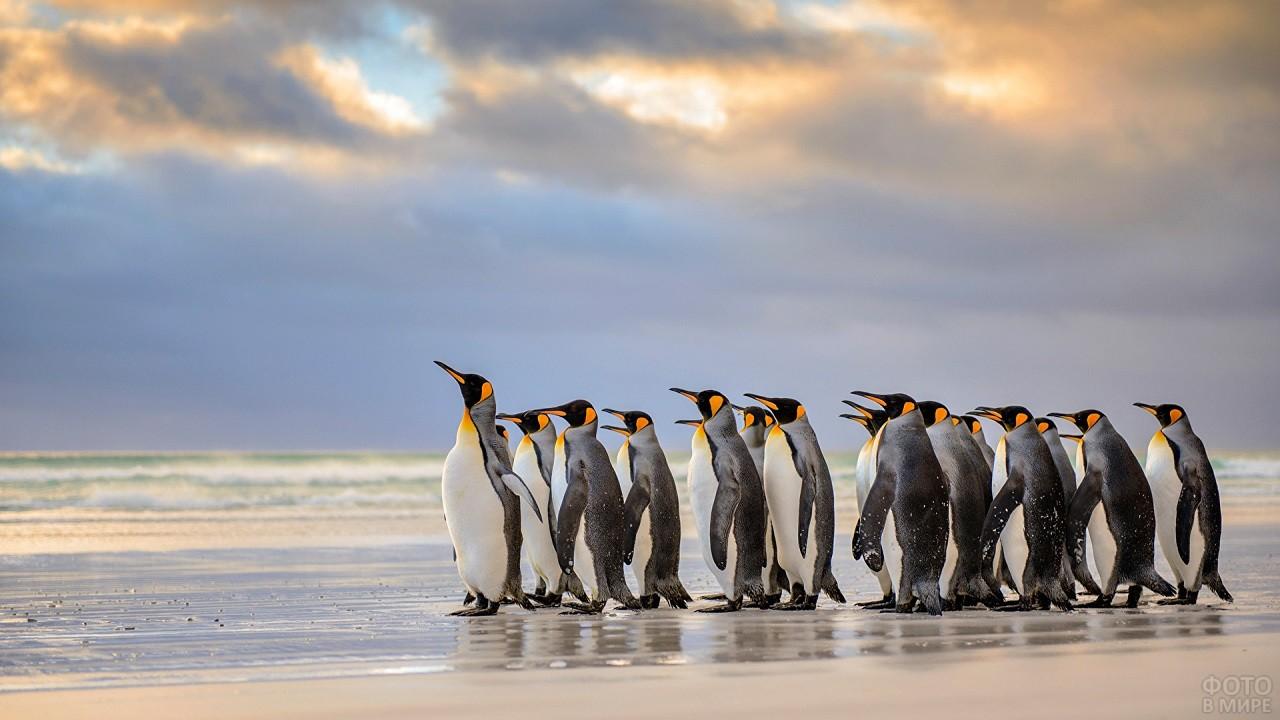 Императорские пингвины идут по воде на фоне живописного пейзажа