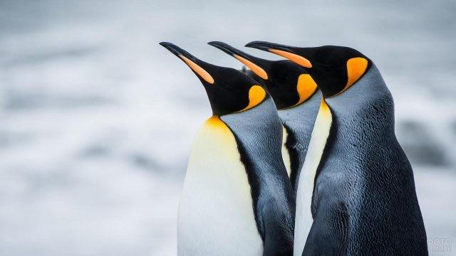 Императорские пингвины стоят, вытянув клювы