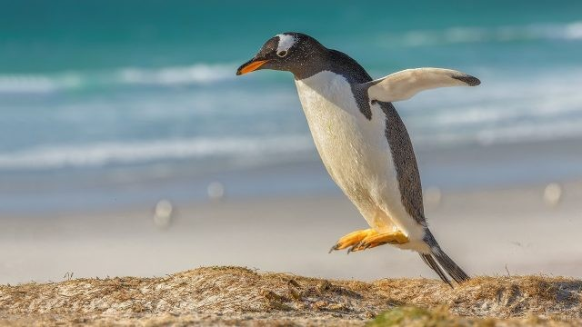Красивый прыжок Папуанского пингвина