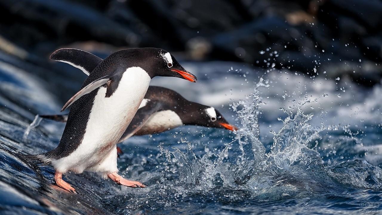 Красноклювые пингвины ныряют в прозрачную воду