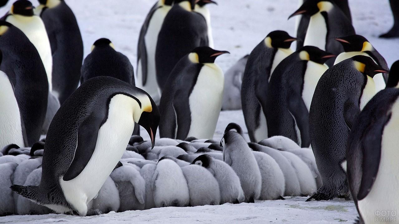 Маленькие пингвины греются друг о друга