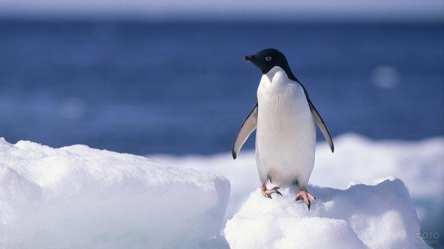 Маленький пингвин стоит на снегу