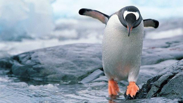 Мокрый пингвин идёт по воде