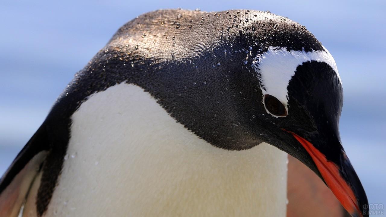 Мокрый пингвин крупным планом