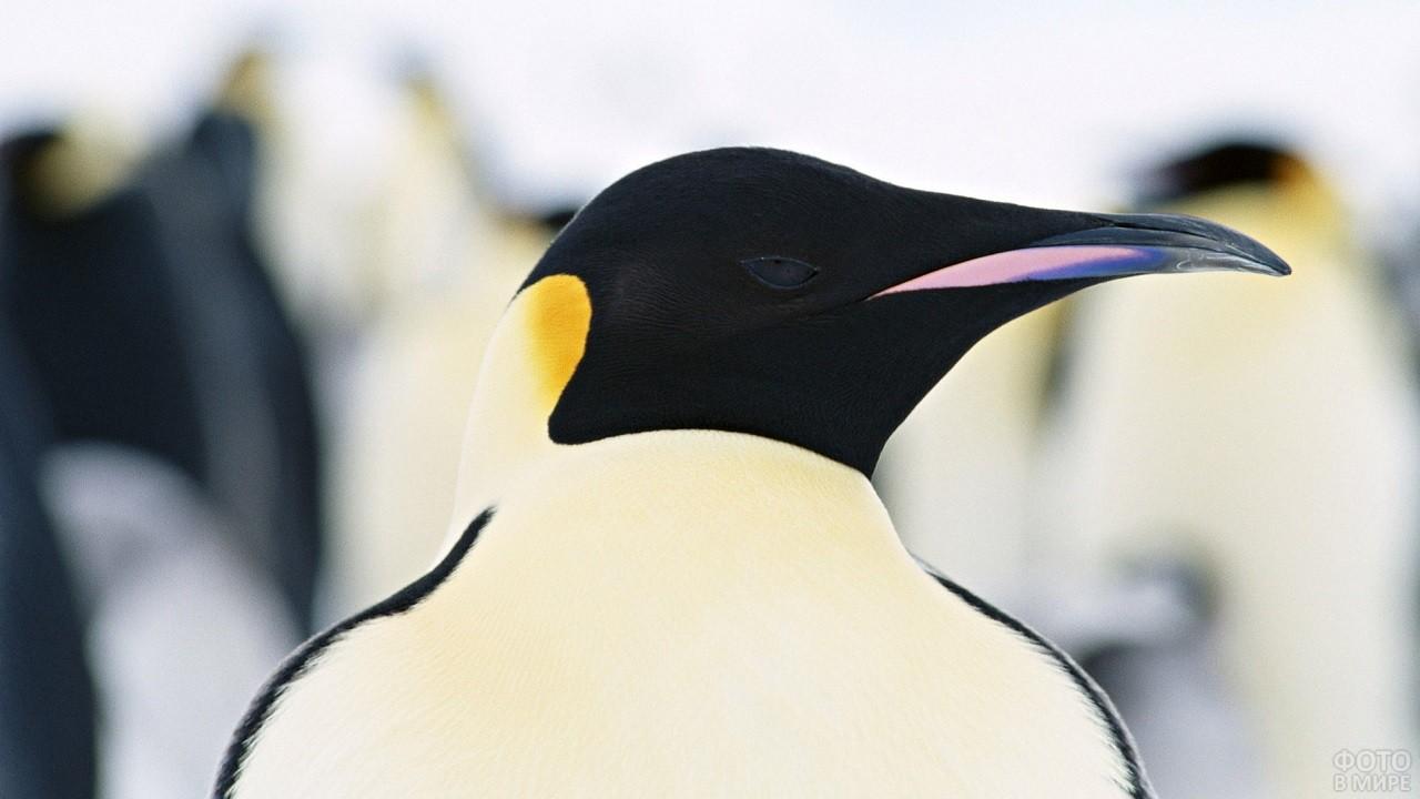 Необычный окрас Императорского пингвина