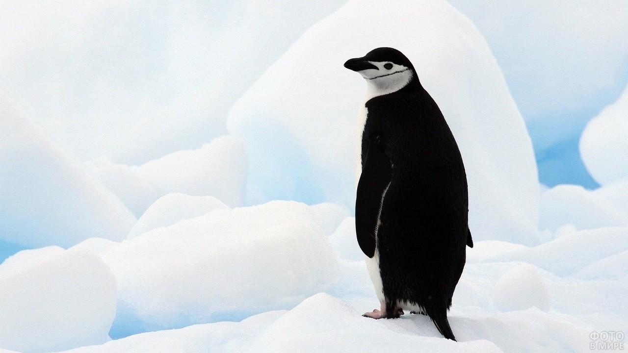 Одинокий пингвин на белоснежном фоне