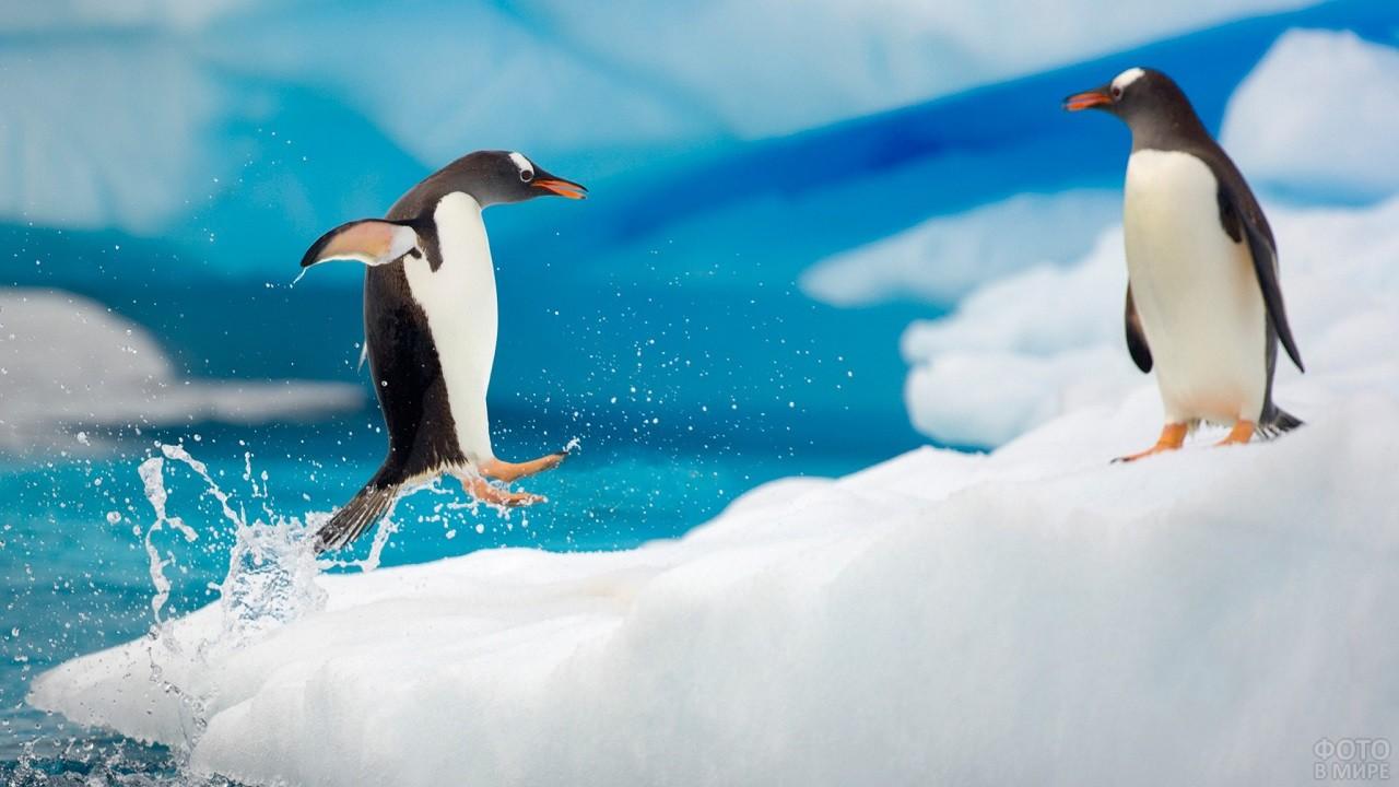 Папуанский пингвин выпрыгивает из воды