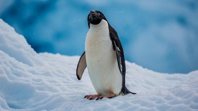 Пингвин Адели вопросительно смотрит вверх
