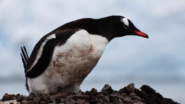 Пингвин с красным клювом сидит на камнях