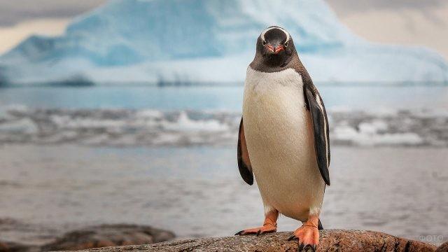 Пингвин стоит на фоне огромного айсберга