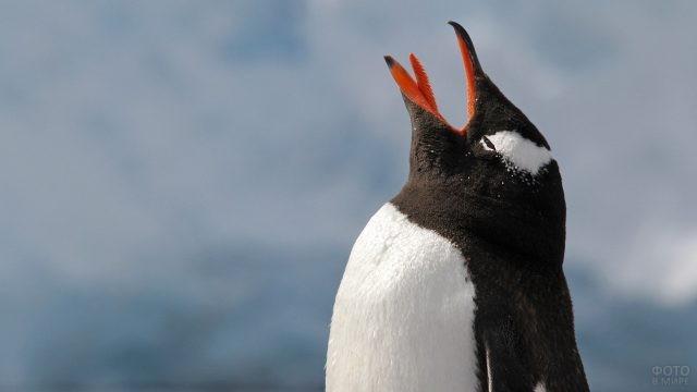 Пингвин стоит с открытым ртом, высунув язык