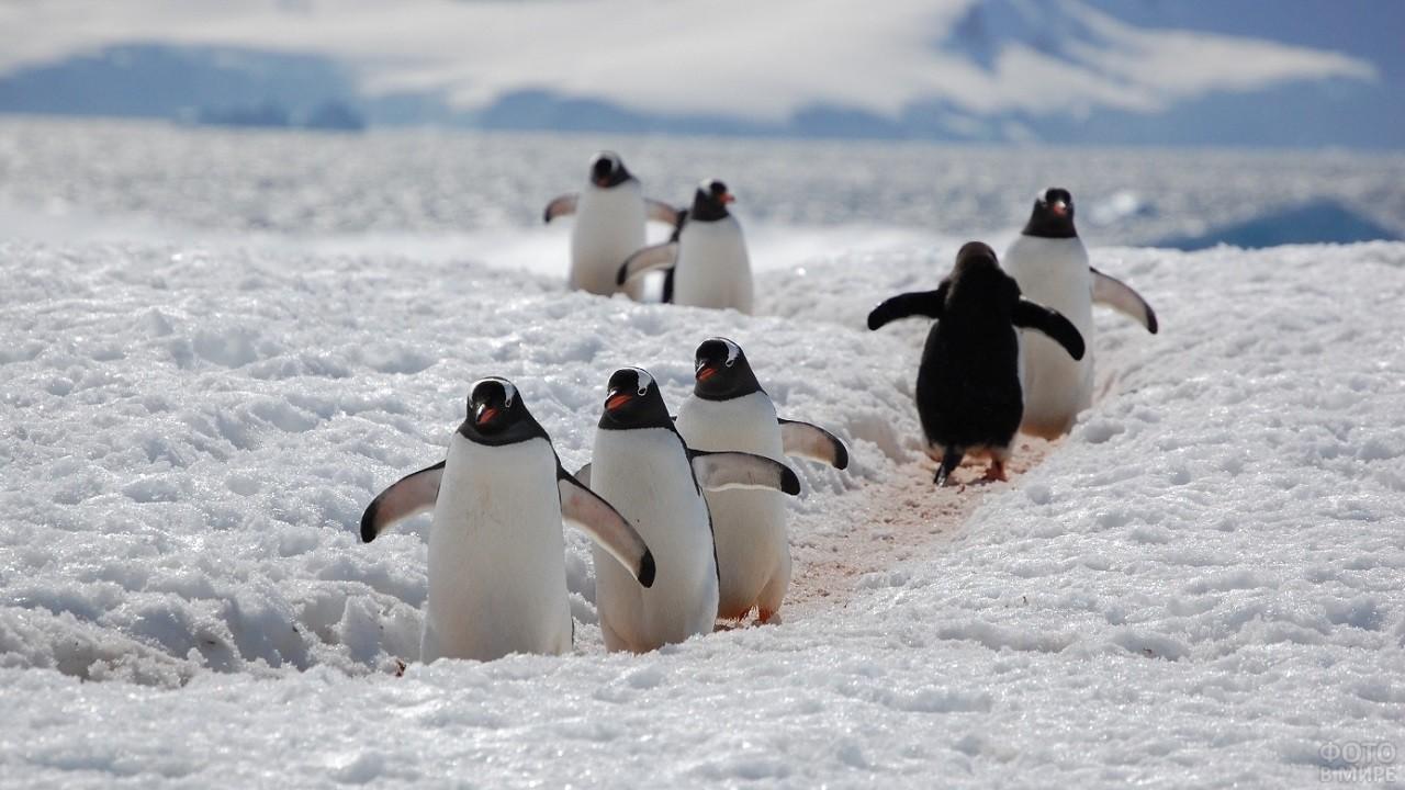 Пингвины идут по протоптанной дороге