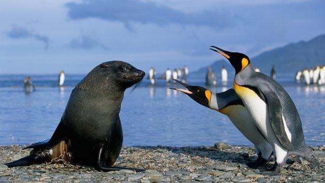 Пингвины наклоняются к морскому котику