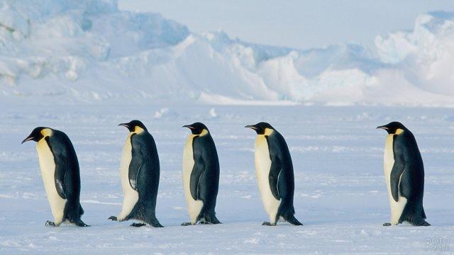 Пингвины передвигаются друг за другом по снегу