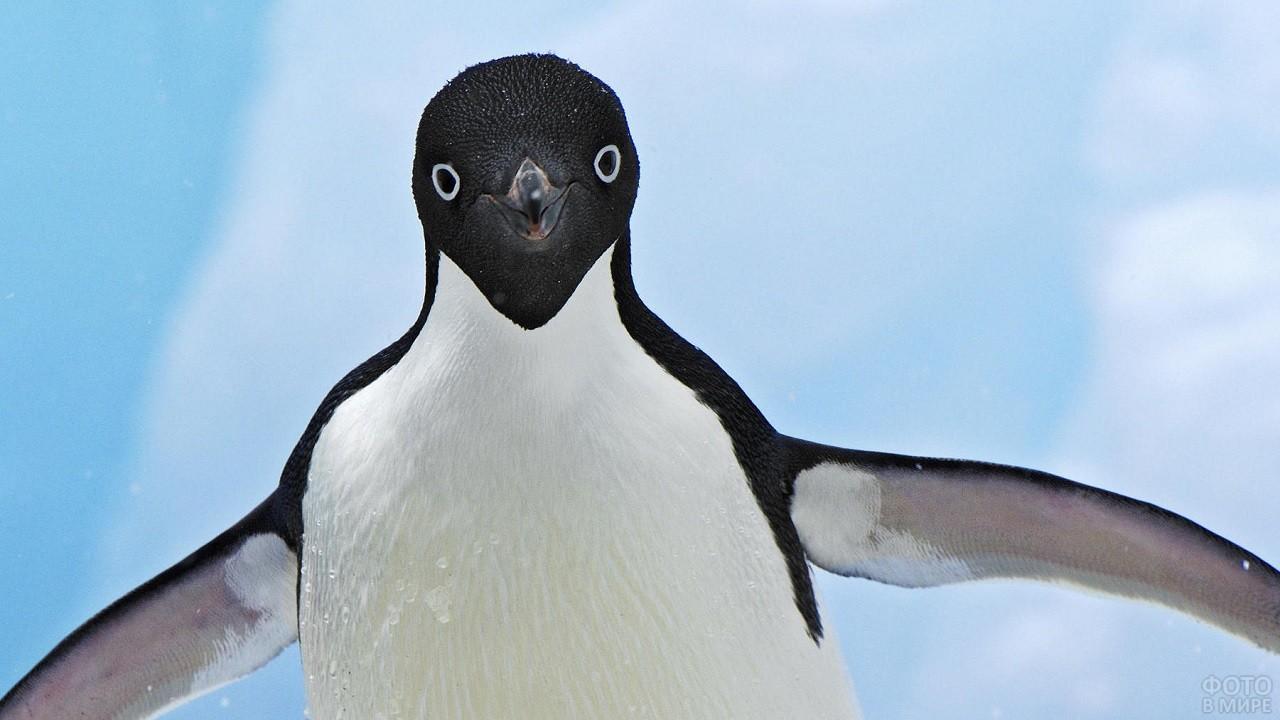 Птенец пингвина машет крыльями