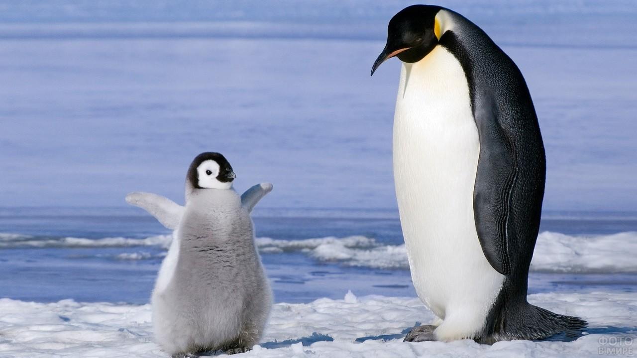 Птенец пингвина стоит подняв крылья