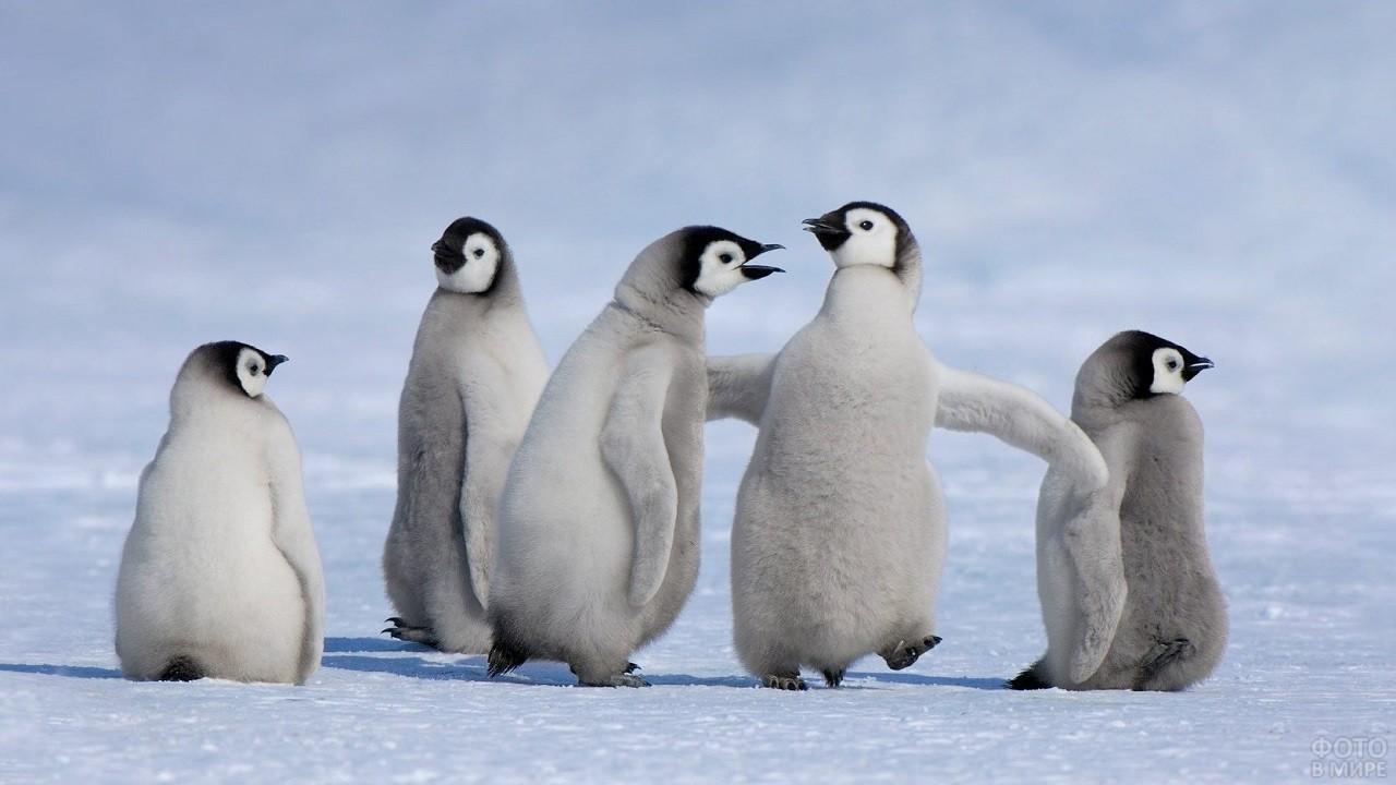 Пушистые пингвинята играют друг с другом