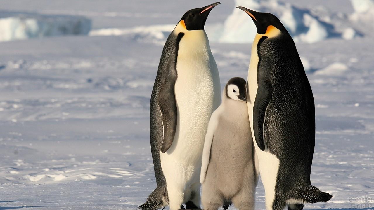 Семья пингвинов стоит, прислонившись друг к другу