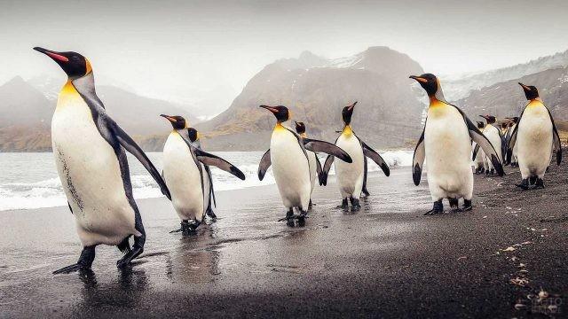Стая Императорских пингвинов идёт по берегу вдоль океана