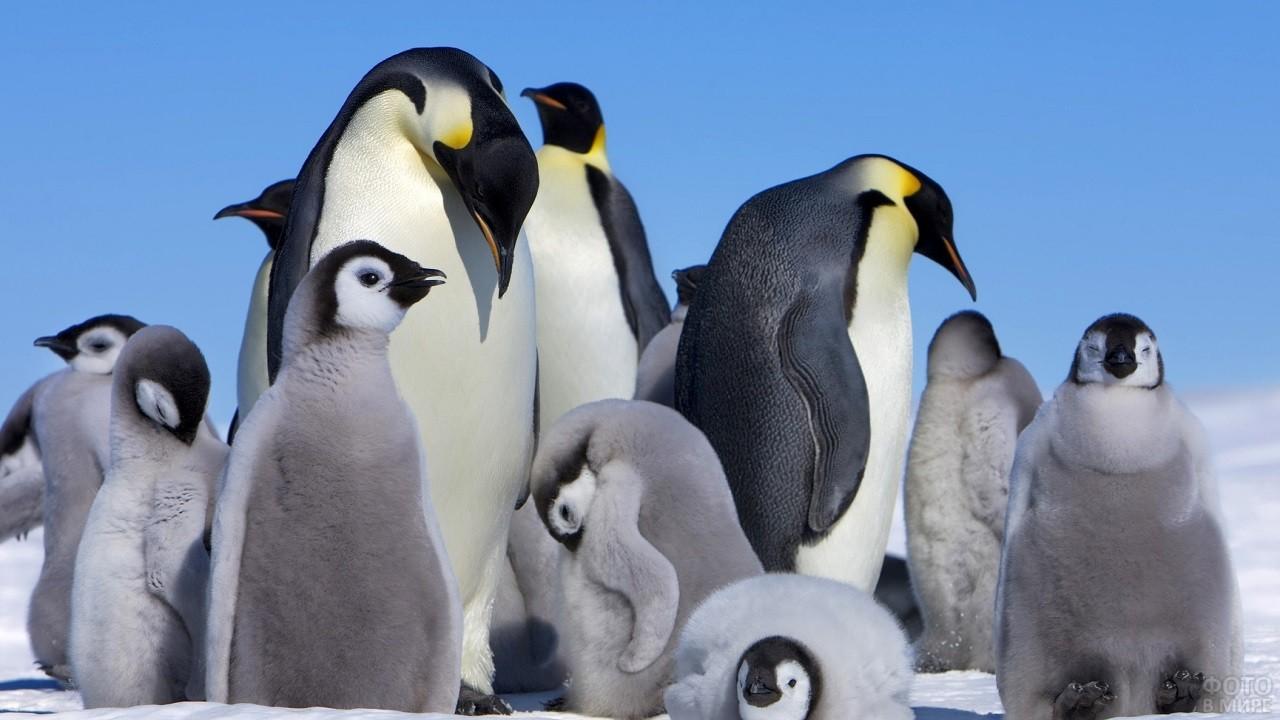 Умывание стаи пингвинов