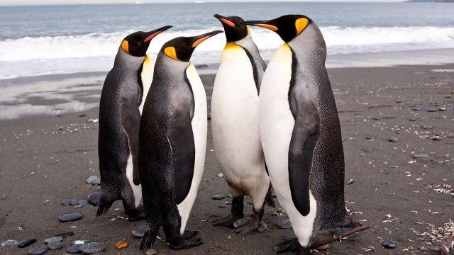 Величественные Императорские пингвины в Антарктиде