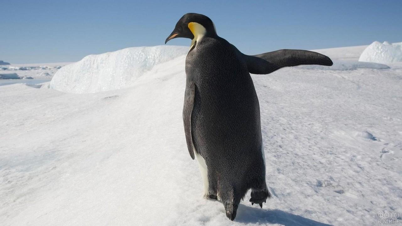 Вид сзади на Императорского пингвина