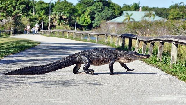 Большой крокодил переходит дорогу