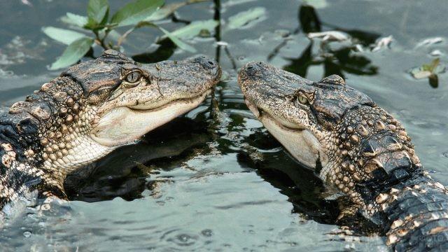 Два маленьких крокодила в воде