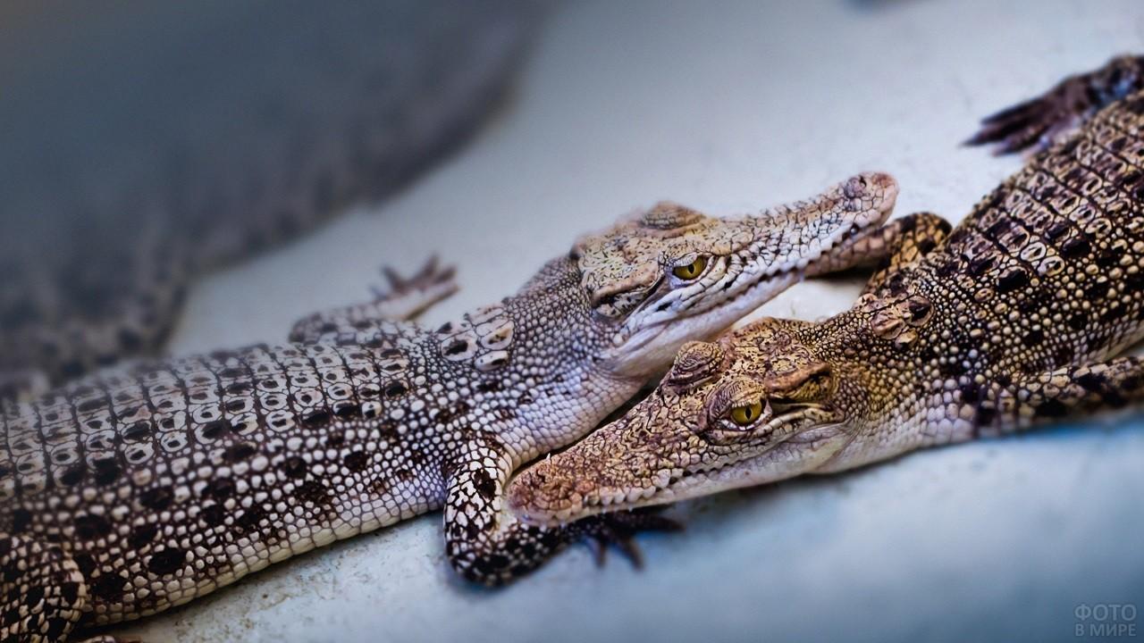 Два маленьких крокодила