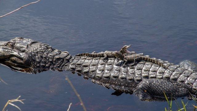 Два маленьких крокодильчика сидят на маме