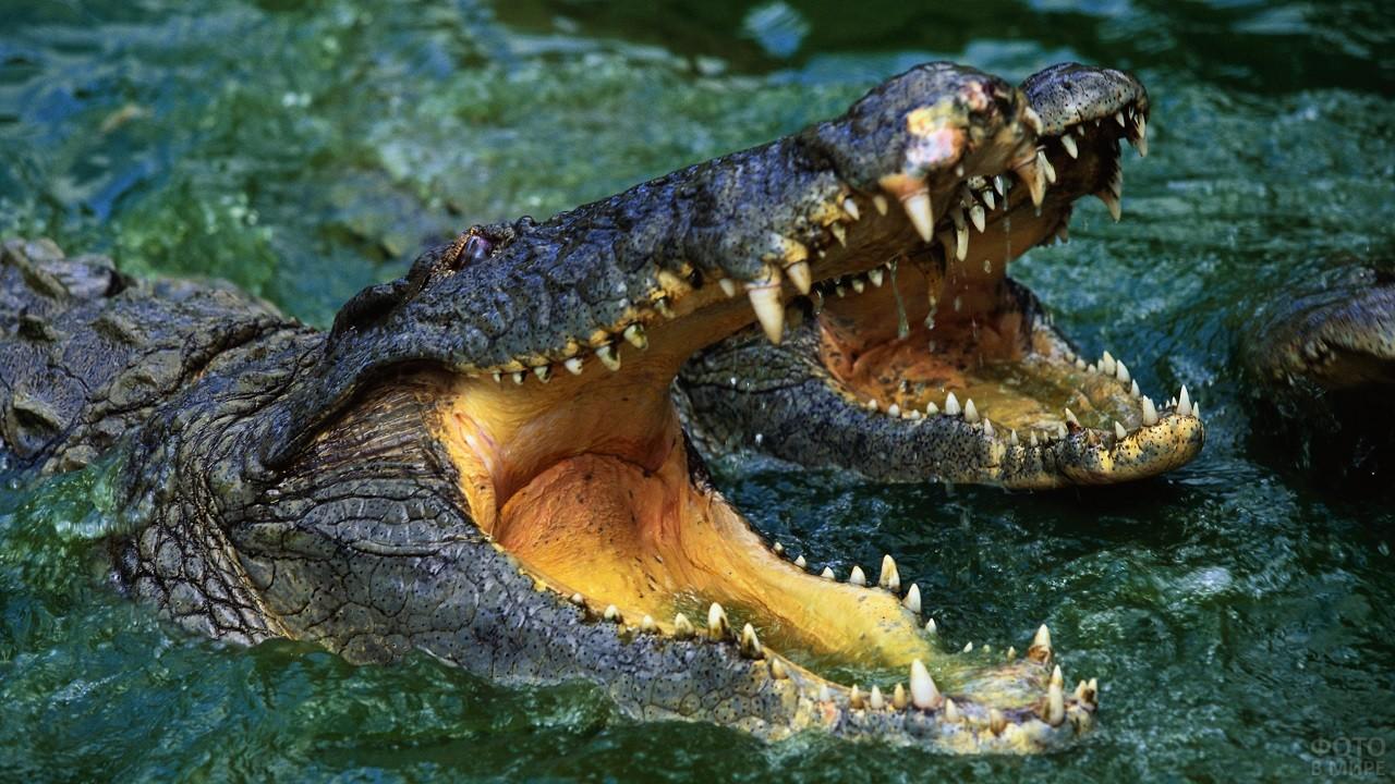 Два зубастых крокодила с широко раскрытыми пастями