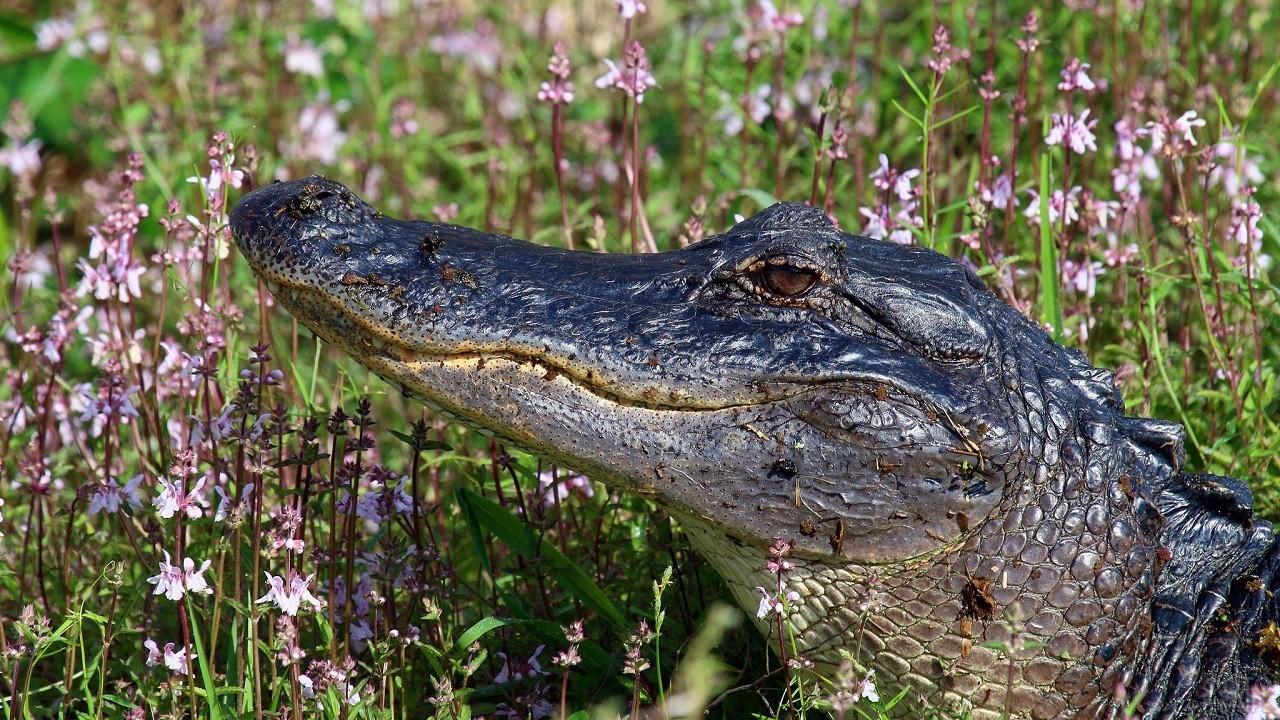 Грязный крокодил на фоне красивых цветов