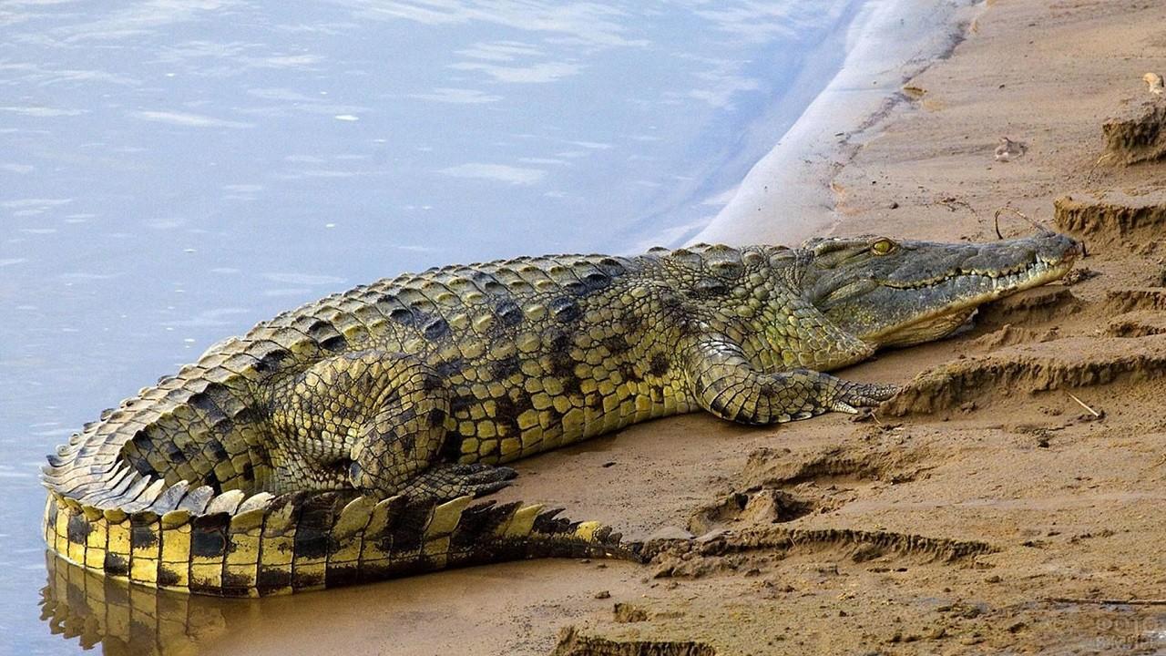 Крокодил лежит на песчаном берегу