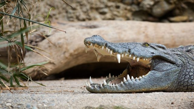 Крокодил с открытой пастью лежит на земле