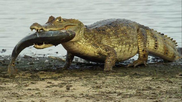 Крокодил выходит на берег с рыбой в зубах