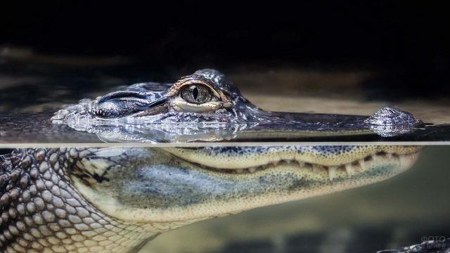 Крокодил высунул морду из воды