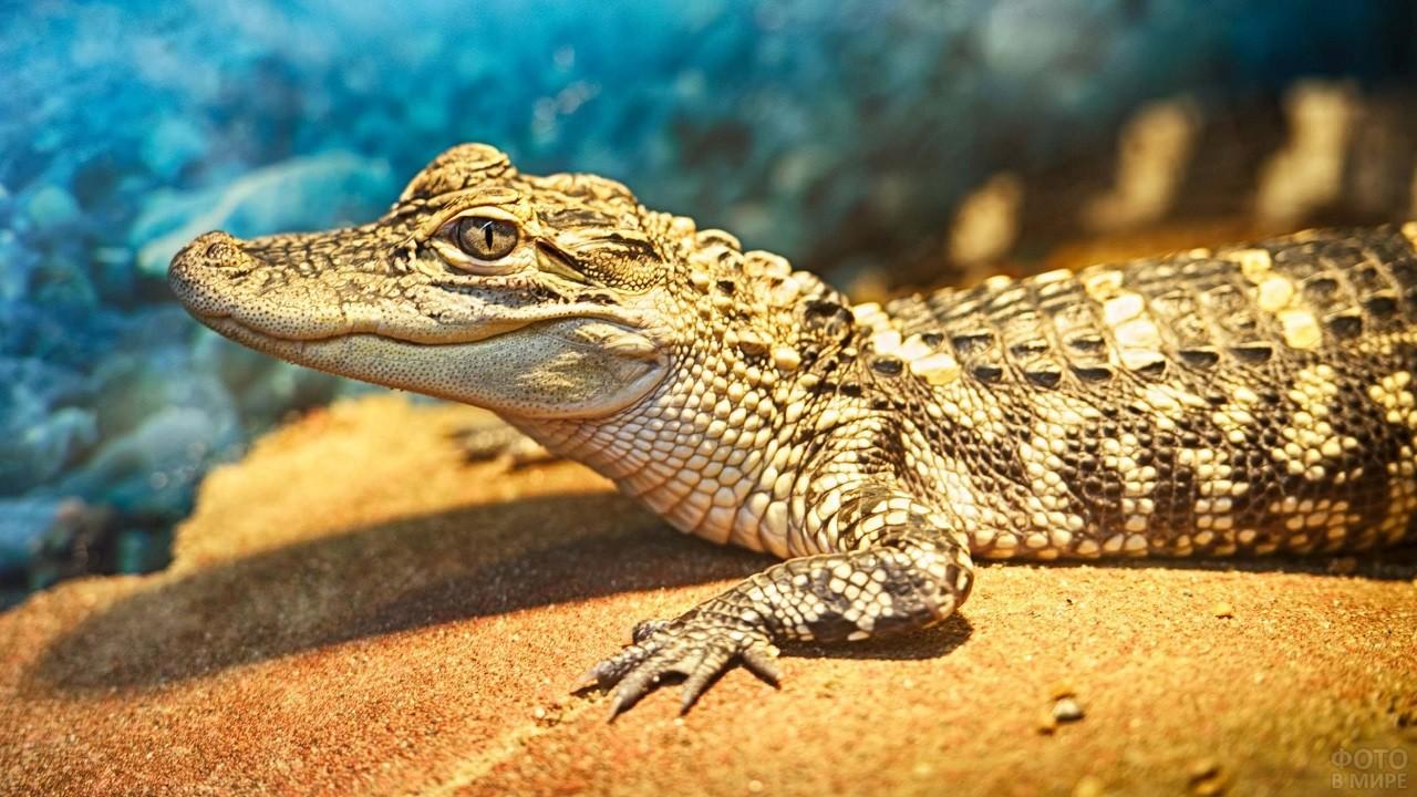 Крокодил жёлтого цвета лежит на песке