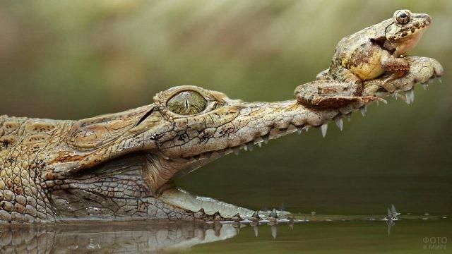 Лягушка сидит на крокодильей морде