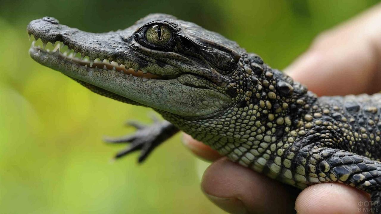 Маленький крокодил в руках человека