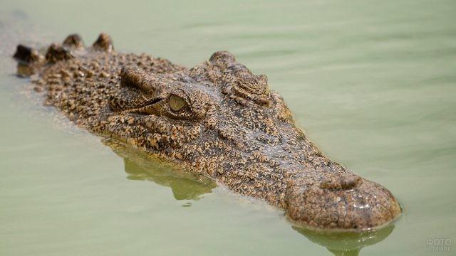 Морда гребнистого крокодила, выплывающая из воды