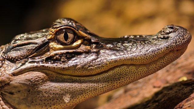 Морда крокодила крупным планом