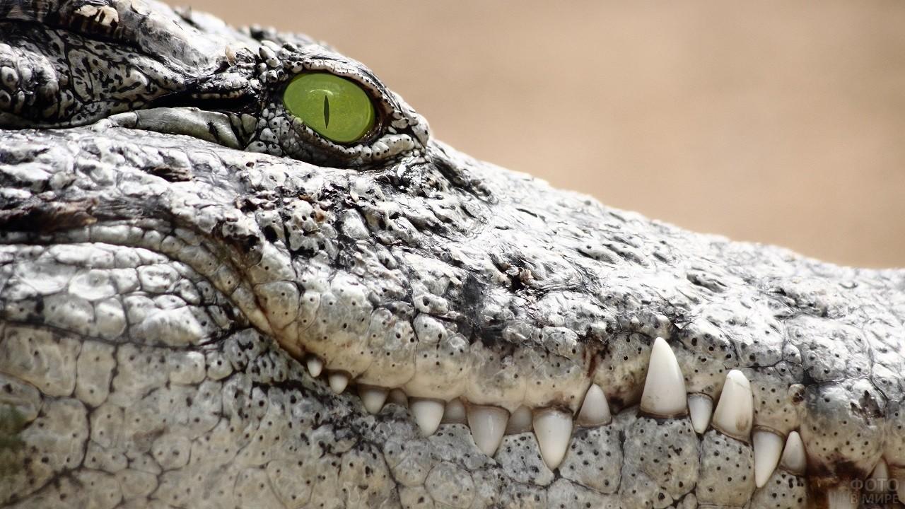 Морда крокодила с зелёными глазами крупным планом