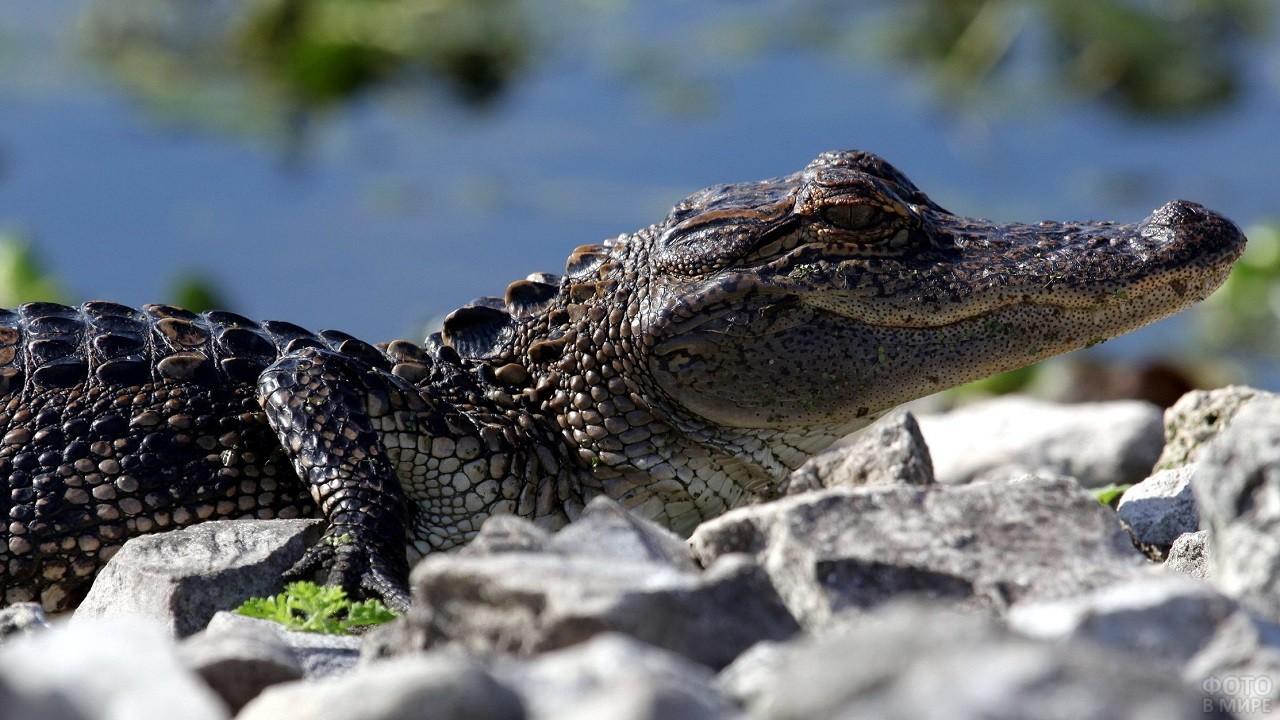 Морда маленького крокодила среди камней